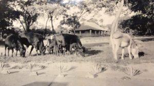Le bétail